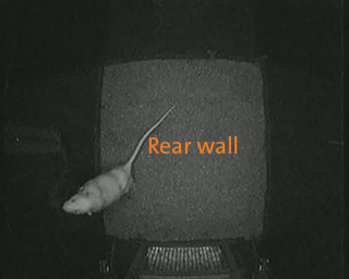 rat behavior recognition rear wall